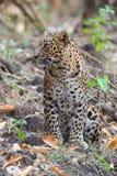豹子在森林里 免版税库存图片