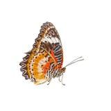豹子在白色背景(Cethosia cyane)隔绝的鞋带蝴蝶 图库摄影