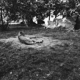 豹子在莫斯科动物园里 免版税库存图片