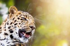 豹子在阳光下 免版税库存照片
