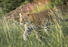 豹子在马塞人玛拉国家公园,肯尼亚 库存图片