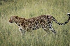 豹子在马塞人玛拉国家公园,肯尼亚 免版税库存照片