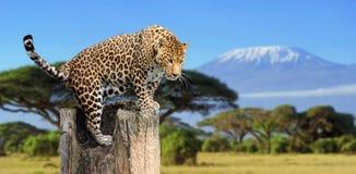 豹子坐结构树 库存图片