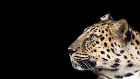 豹子外形 库存照片
