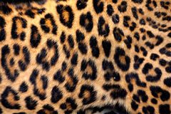 豹子实际皮肤 免版税库存照片