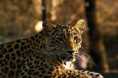 豹子寒冷注视 免版税图库摄影