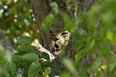 豹子对峙 免版税库存照片