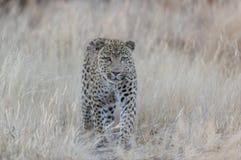 豹子寻找抓住,纳米比亚 库存图片