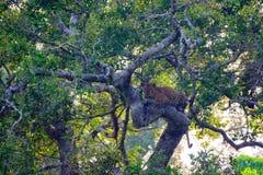 豹子或豹属pardus树的kotya基于 免版税图库摄影
