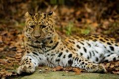 豹子摆在 免版税图库摄影