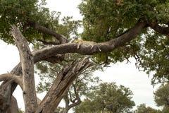 豹子放松了在结构树的大树枝 免版税库存照片