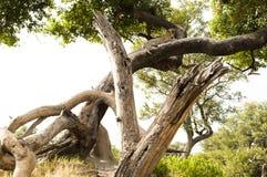 豹子放松的在结构树 库存照片
