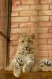 豹子放松 库存图片
