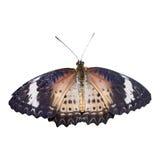 豹子查出的Lacewing蝴蝶 图库摄影