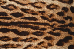 豹子毛皮特写镜头 免版税库存图片