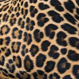 豹子毛皮背景 免版税图库摄影