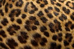 豹子毛皮背景 免版税库存图片