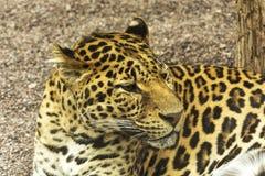 豹子特写镜头,动物区系 图库摄影