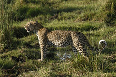 豹子狂放的猫秀丽 库存照片