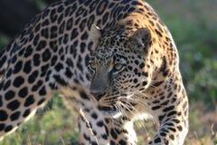 豹子狩猎 免版税库存照片
