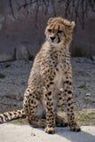 豹子猎豹属jubatus 免版税库存照片