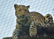 豹子画象在维也纳动物园里 免版税库存照片