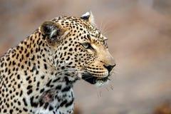 豹子画象 免版税图库摄影