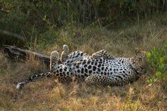 豹子的腹部 免版税库存图片