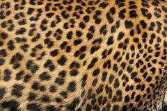豹子皮肤 图库摄影