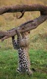 豹子站立在它的后腿和抓他的头反对树 国家公园 肯尼亚 坦桑尼亚 免版税库存图片