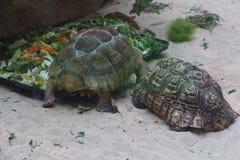 豹子草龟和非洲被激励的草龟在玻璃容器 免版税图库摄影