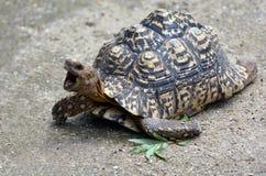 豹子草龟大和引人注目地明显的草龟 库存图片