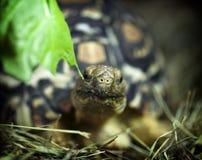 豹子草龟(陡壁峡口蛇头草属pardalis) 免版税图库摄影
