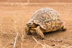 豹子草龟 免版税图库摄影