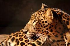 豹子豹休息放松 免版税图库摄影