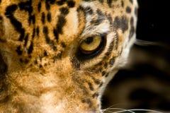 豹子重点的纵向关闭在眼睛 库存照片