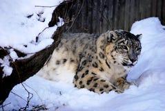 豹子雪偷偷靠近 库存照片