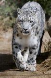 豹子雪 库存图片