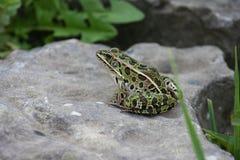 豹子青蛙 库存照片