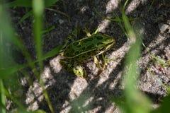 豹子青蛙 库存图片