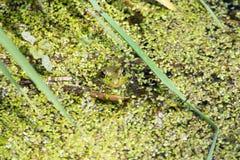 豹子青蛙 免版税图库摄影
