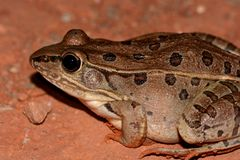豹子青蛙(Lithobates sphenocephalus) 图库摄影