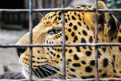 豹子顶头特写镜头 在笼子的豹子在动物园 豹子(豹属pardus)在囚禁 库存图片