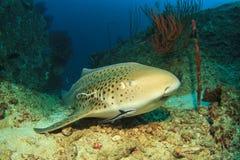 豹子鲨鱼 免版税库存照片