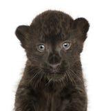 黑豹子崽的特写镜头, 3个星期年纪 库存照片