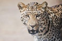 豹子画象南非 库存图片