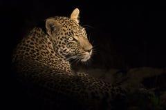 豹子画象在黑暗中放下休息 免版税库存图片