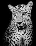 豹子画象 库存照片