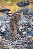 豹子画象 图库摄影