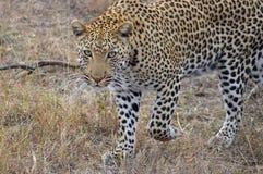 豹子(豹属pardus)偷偷靠近 免版税库存照片